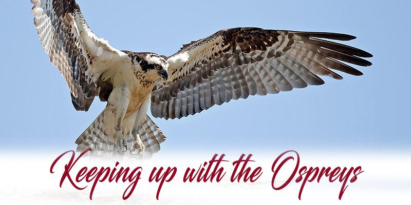 Keeping Up With The Ospreys